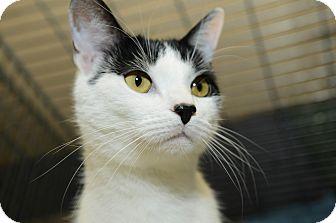 Domestic Shorthair Cat for adoption in New York, New York - Harry