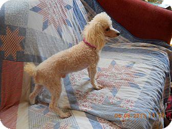 Miniature Poodle Dog for adoption in Charlotte, North Carolina - Romeo