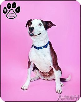 Pit Bull Terrier/Cattle Dog Mix Dog for adoption in Tempe, Arizona - Ione