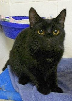 Domestic Shorthair Cat for adoption in Huntsville, Alabama - Bart
