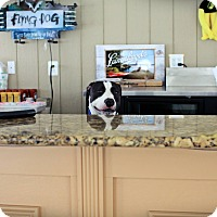American Pit Bull Terrier Mix Dog for adoption in Baltimore, Maryland - Triss