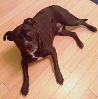 American Pit Bull Terrier/Labrador Retriever Mix Dog for adoption in Fredericksburg, Virginia - Jack- Courtesy Listing