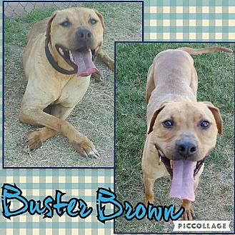 Labrador Retriever/Pit Bull Terrier Mix Dog for adoption in Scottsdale, Arizona - Buster Brown