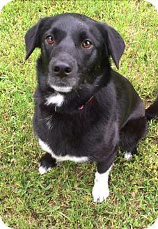 Labrador Retriever Mix Dog for adoption in Austin, Texas - Hailee