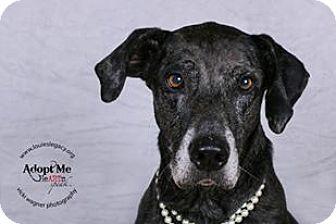 Great Dane/Greyhound Mix Dog for adoption in Cincinnati, Ohio - Nellie