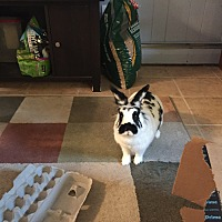 Adopt A Pet :: LuLu - Conshohocken, PA