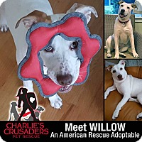 Adopt A Pet :: Willow - Spring City, PA