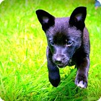 Adopt A Pet :: Mitzy - Glastonbury, CT