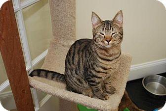 Domestic Shorthair Cat for adoption in Trevose, Pennsylvania - Cheech