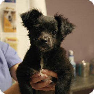 Chihuahua Mix Puppy for adoption in Seneca, South Carolina - Eleanor $275