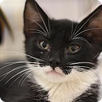 Adopt A Pet :: Pollux - Sacramento, CA