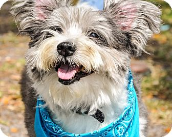 Skye Terrier/Lhasa Apso Mix Dog for adoption in Gainesville, Florida - Stefano