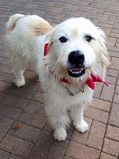 Great Pyrenees/Collie Mix Dog for adoption in Norwalk, Connecticut - Montrose - Loves the ladies