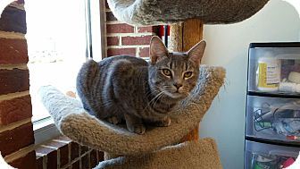 Domestic Shorthair Cat for adoption in Maryville, Tennessee - Gretchen