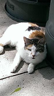 Calico Cat for adoption in Naples, Florida - Tessa