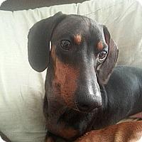 Adopt A Pet :: Joey - Georgetown, KY