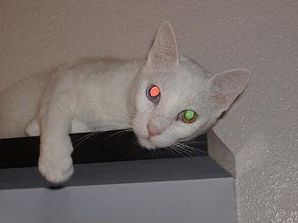 Domestic Shorthair Cat for adoption in Phoenix, Arizona - Snoopy