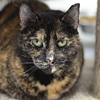 Domestic Shorthair Cat for adoption in Atlanta, Georgia - Linda Mae 150210