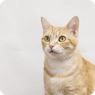 Domestic Shorthair Cat for adoption in Houston, Texas - Holly