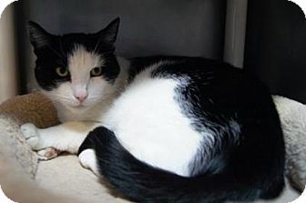 Domestic Shorthair Cat for adoption in New Milford, Connecticut - Silas