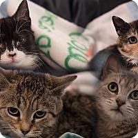 Adopt A Pet :: Edison's Kittens - Staten Island, NY