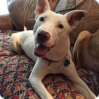 Adopt A Pet :: Farrah - Alpharetta, GA