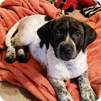 Australian Cattle Dog Puppy for adoption in Norristown, Pennsylvania - Gracie
