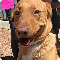 Rhodesian Ridgeback Mix Dog for adoption in Sierra Vista, Arizona - Fireball