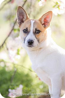 Jack Russell Terrier/Corgi Mix Dog for adoption in Conyers, Georgia - Tessa