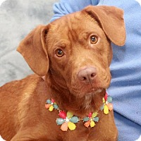 Adopt A Pet :: Cupid-PENDING - Garfield Heights, OH