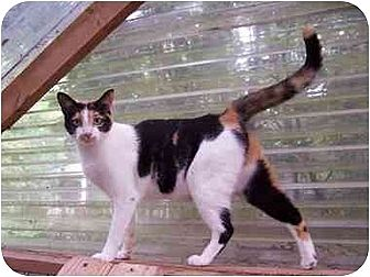 Domestic Shorthair Cat for adoption in Winnsboro, South Carolina - Heather