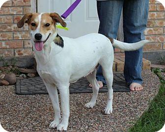 Labrador Retriever/Jack Russell Terrier Mix Dog for adoption in Houston, Texas - Sugar