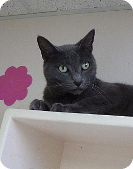 Domestic Shorthair Cat for adoption in St. Petersburg, Florida - Smokey