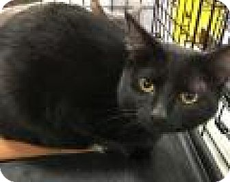 Domestic Shorthair Cat for adoption in Shelbyville, Kentucky - Indie