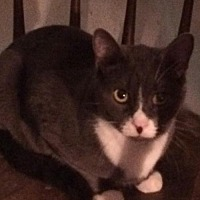 Domestic Shorthair Cat for adoption in Montreal, Quebec - Mr Magoo