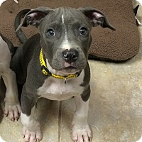 Adopt A Pet :: Squirtle - Ft. Myers, FL