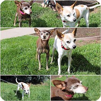 Chihuahua/Italian Greyhound Mix Dog for adoption in Logan, Utah - Ricardo