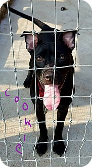 Pit Bull Terrier Mix Dog for adoption in Lawrenceburg, Tennessee - Cookie