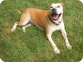 American Staffordshire Terrier/Labrador Retriever Mix Dog for adoption in Ann Arbor, Michigan - Princess Elsa