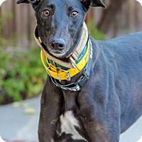 Adopt A Pet :: Gwendolyn - Walnut Creek, CA