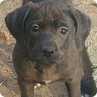 Adopt A Pet :: Brigid - Springfield, VA