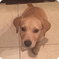 Adopt A Pet :: Duck - North East, FL