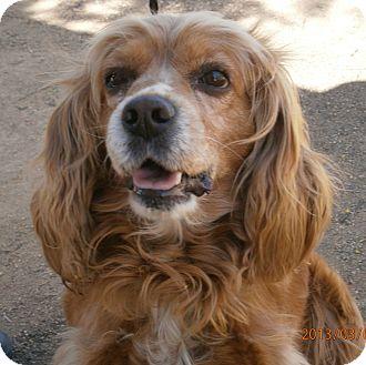 Cocker Spaniel Mix Dog for adoption in Santa Barbara, California - Dwayne