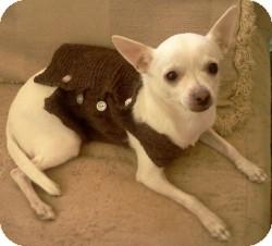 Chihuahua Mix Dog for adoption in Mesa, Arizona - Snowflake