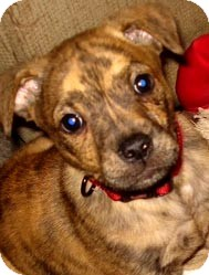 Labrador Retriever Mix Puppy for adoption in Manchester, Connecticut - ROCKET  IN CT