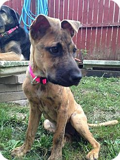 Boxer/Shepherd (Unknown Type) Mix Puppy for adoption in North Olmsted, Ohio - Amora