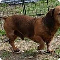 Adopt A Pet :: Ninja - Staunton, VA