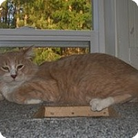 Adopt A Pet :: Tiger 2 - Shelton, WA