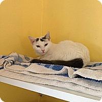 Adopt A Pet :: Snowy - Lancaster, MA