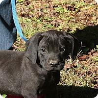 Adopt A Pet :: Prya (POM) - Brattleboro, VT